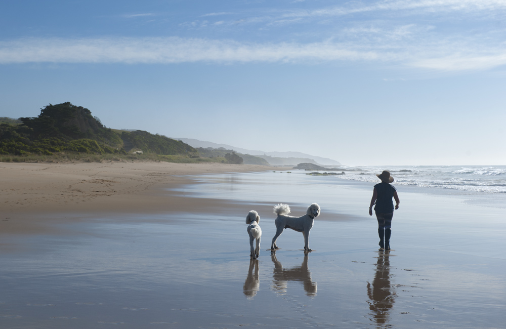 A lone woman walking her 2 dogs at Apollo Bay, Great Ocean Road, Victoria, Australia